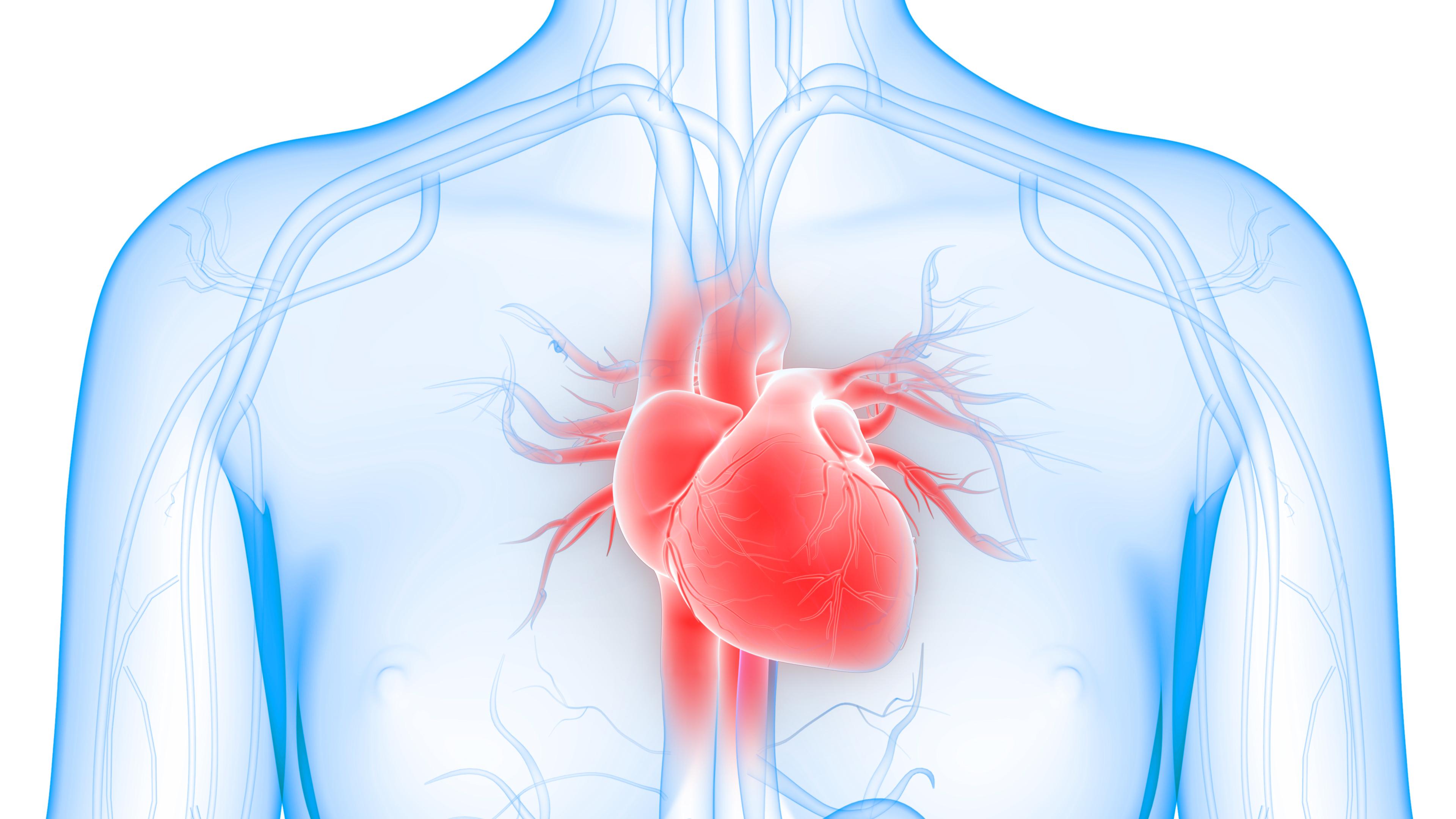 Herz & Blutgefäße